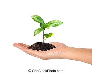 plante, fond blanc, main