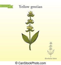 plante, gentiana, gentiane jaune, lutea, médicinal