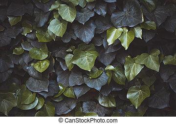 plante, haie, vert, hélix, hedera, ivy., arrière-plan., ...
