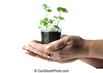 plante, humain, tasse, vert, tenue, mains,  transparent