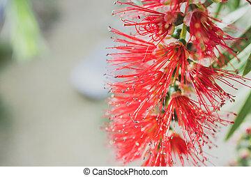 plante, indigène, extérieur, australien, ensoleillé, callistemon, bottlebrush, rouges, arrière-cour