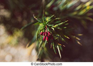 plante, indigène, extérieur, australien, ensoleillé, rouges, grevillea, arrière-cour