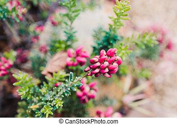 plante, indigène, extérieur, lanigera, australien, ensoleillé, grevillea, arrière-cour