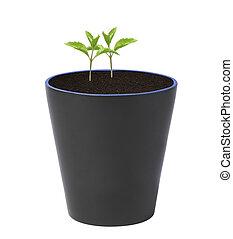 plante, isolé, pot, jeune