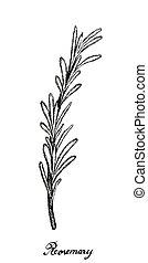 plante, main, dessiné, frais, blanc, romarin