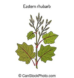 plante, oriental, rhubarbe, rheum, médicinal, officinale