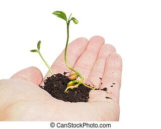 plante, ou, arbre, minuscule, main, petit, tas, sol, croissant, frais, personne