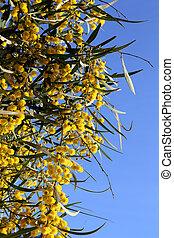plante, pelucheux, jaune, mimosa, branche, fleurs, rond