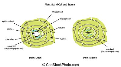 plante, pleinement, cellules, garde, labeled., stomate