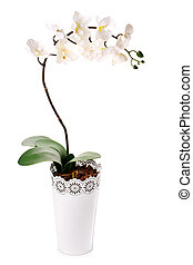 plante, pot fleurs, orchidée, isolé, blanc
