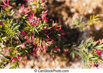 plante, rouges, australien, arrière-cour, indigène, grevillea, ensoleillé, extérieur
