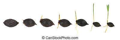 plante, séquence, isolé, paume, croissant, blanc