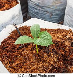 plante, semailles, tourbe, vert, coco, concombre