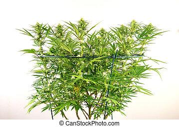 plante, sur, isolé, tôt, cannabis, fleurs blanches