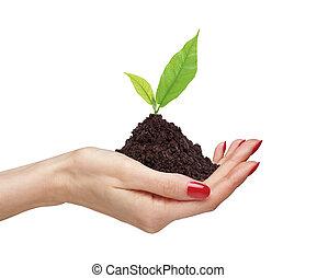 plante, tenue, femme, gros plan, vert, fond, mains, blanc