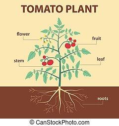 plante, tomate
