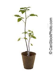 plante tomate, pot
