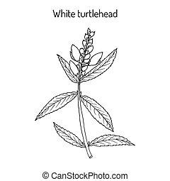 plante, turtlehead, chelone, glabra, médicinal, blanc
