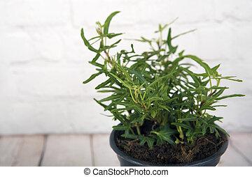 plante verte, (hedera, lierre, helix)