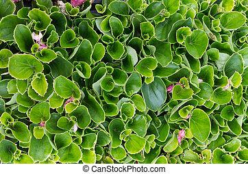 planten, bladeren, groene, seedlings, begonia, of