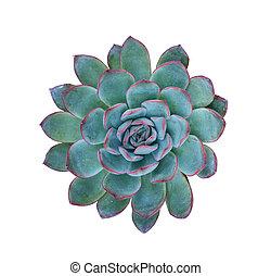 planten, miniatuur, succulent