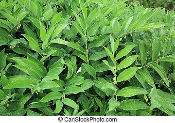 planten, odoratum, polygonatum