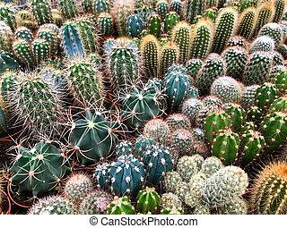 planten, plant, cactus, winkel, miniatuur, velen, /, cactussen