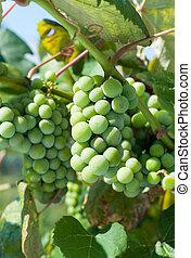 planten, wijntje