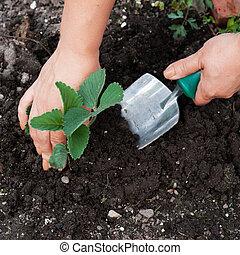 plantende boom, kiemplant