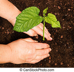 plantende boom