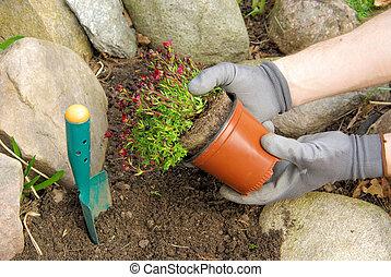 planter, bryoides, 01, saxifraga