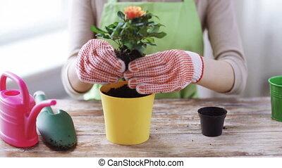 planter, femme, pot, haut, roses, mains, fin