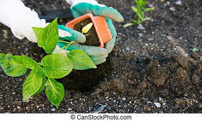 planter, légumes