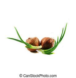 planter, oignon, plant, échalote, printemps, isolé, arrière-plan vert, croissant, blanc, ou, bourgeon