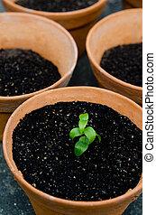 planter, plante