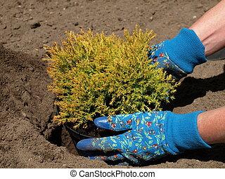 Planting a juniper
