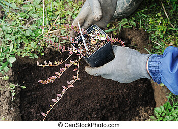 Planting berry bushes.