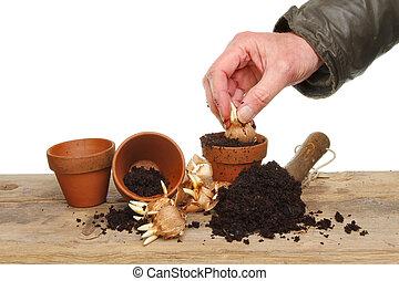 Hand planting crocus bulbs into pots on a potting bench