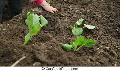 Planting cabbage saplings in the garden
