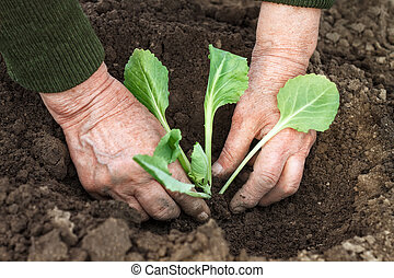 planting cabbage seedling in spring