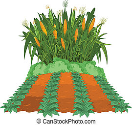 Planting corn next to the garden beds of weeded
