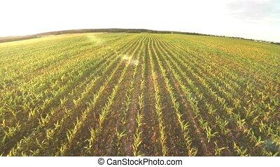 Planting corn. Small shoots of corn. Flight over corn 65 -...