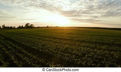 Planting corn. Small shoots of corn. Flight over corn 66 -...
