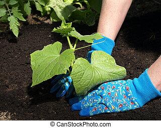 Planting cucumber - Garden work: planting cucumber seedling...