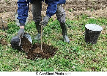 Planting fruit trees.