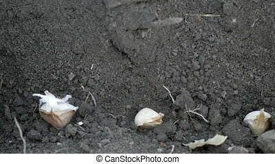 Planting garlic in the ground