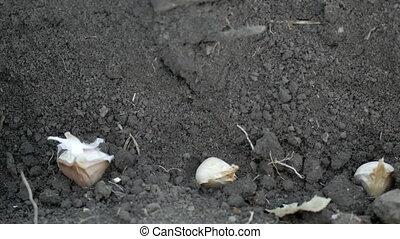 Planting garlic in the ground