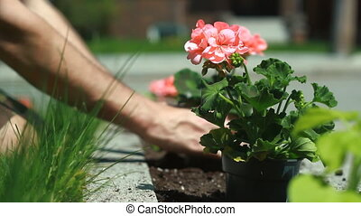 Planting geraniums in a flowerbed. Shallow depth of field....