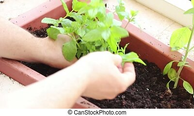 Planting herbs - Hand close up while planting herbs on the...