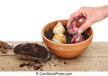 Hand planting a hyacinth bulb into a gritty compost mix in a terracotta pot on a potting bench